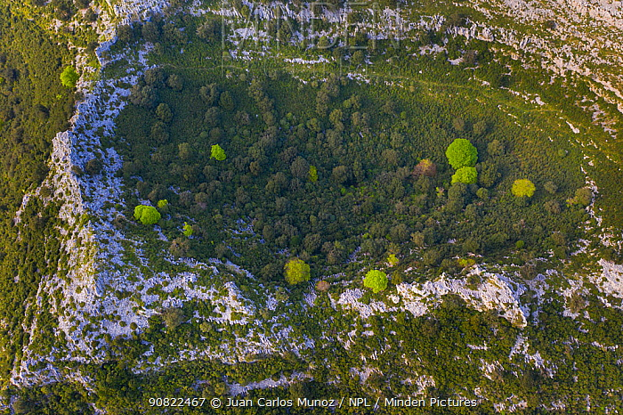 Mediterranean forest with Holm oak (Quercus ilex) in Dolina depression in limestone cliff, aerial view. Liendo Valley, Montana Oriental Costera, Cantabria, Spain. April 2019.