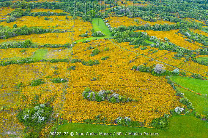 Gorse (Ulex sp) scrub flowering in network of fields with scattered trees and surrounded by hedgerows and woodlands, aerial view. Merindad de Montija, Burgos, Castile and Leon, Spain. May 2019.