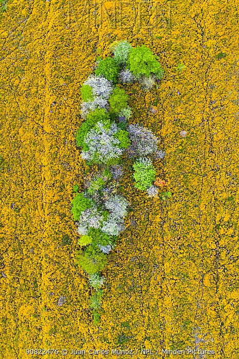 Trees coming into leaf and blossoming surrounded by flowering Gorse (Ulex sp), aerial view. Merindad de Montija, Burgos, Castile and Leon, Spain. May 2019.