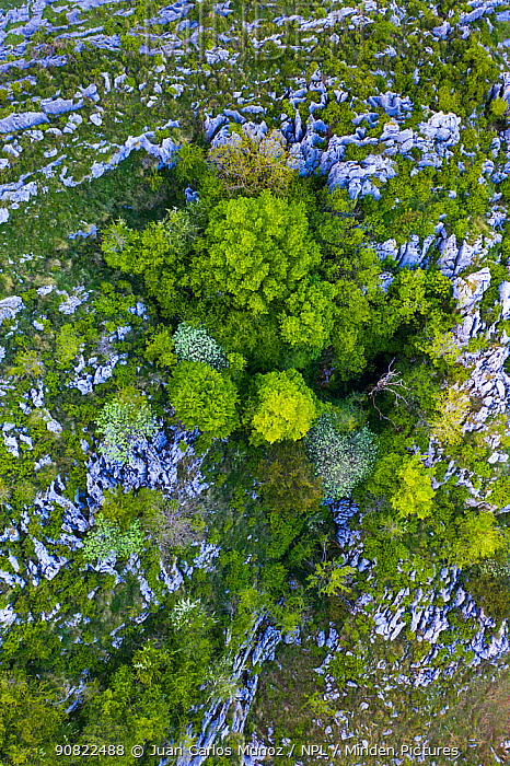 Beech (Fagus sp) forest on cliff in spring, aerial view. Cerredo Mountain, Montana Oriental Costera, Castro Urdiales, Cantabria, Spain. May 2019.