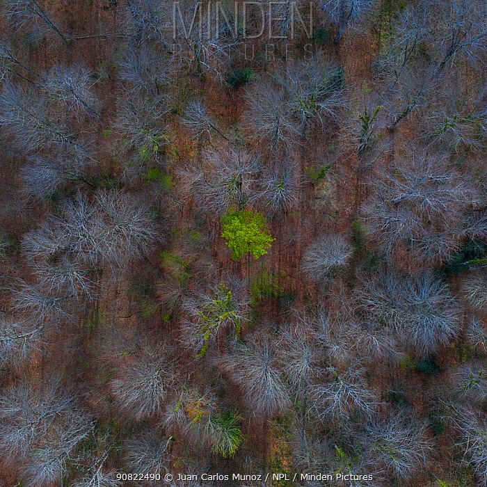 Trees starting to come into leaf in Beech (Fagus sp) forest in spring, aerial view. Gorbeia Natural Park, Alava, Basque Country, Spain. April.