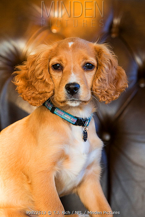 Golden cocker spaniel puppy aged 12 weeks, with collar and name tag, sitting in armchair, portrait. Wirral, England, UK.