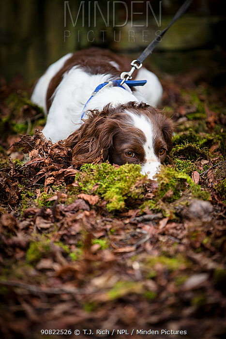 Young Springer Spaniel, lying down nose buried in leaf litter, on lead. Wiltshire, England, UK. March.