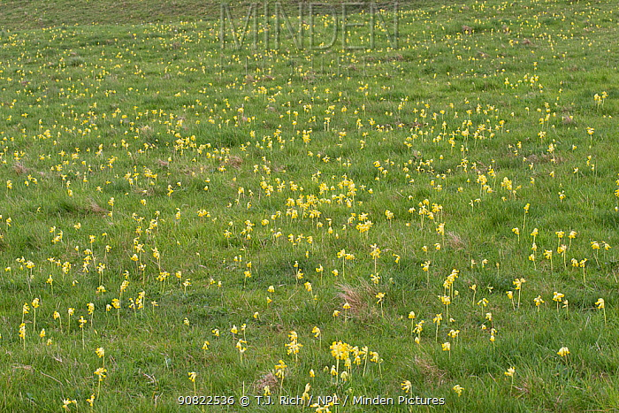 Cowslip (Primula veris) flowering in grassland. Pewsey Downs National Nature Reserve, Wiltshire, England, UK. May 2019.