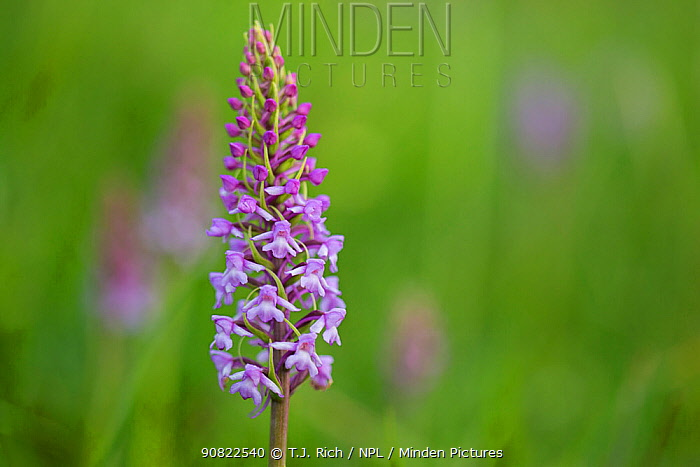 Fragrant orchid (Gymnadenia conopsea). Pewsey Downs National Nature Reserve, Wiltshire, England, UK. June.