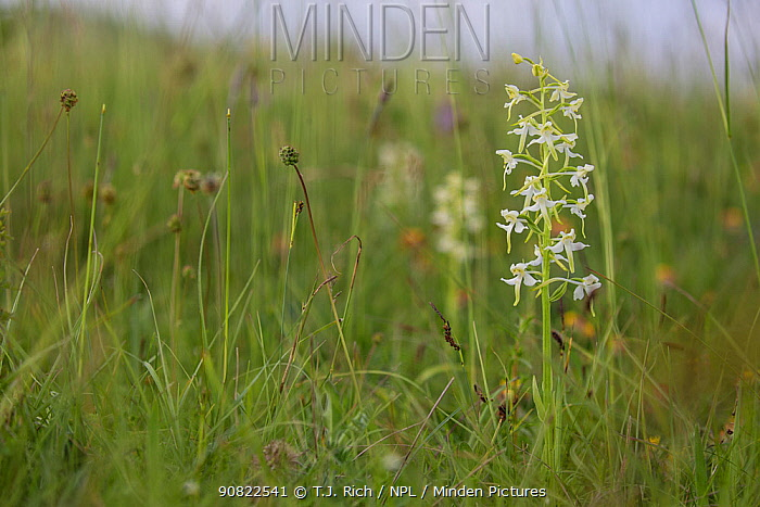 Greater butterfly orchid (Platanthera chlorantha) in species rich chalk grassland. Martin Down National Nature Reserve, Hampshire, England, UK. June.