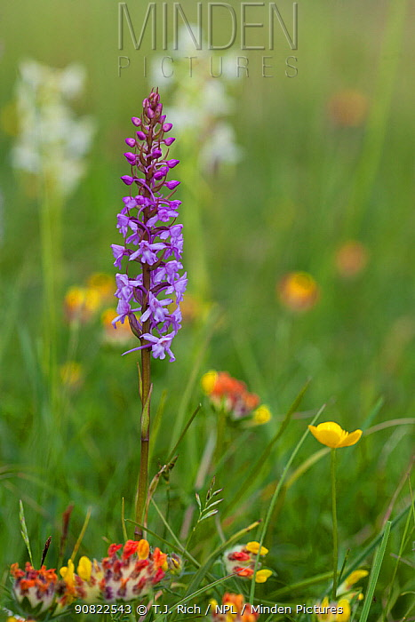 Fragrant orchid (Gymnadenia conopsea) in species rich chalk grassland. Martin Down National Nature Reserve, Hampshire, England, UK. June.