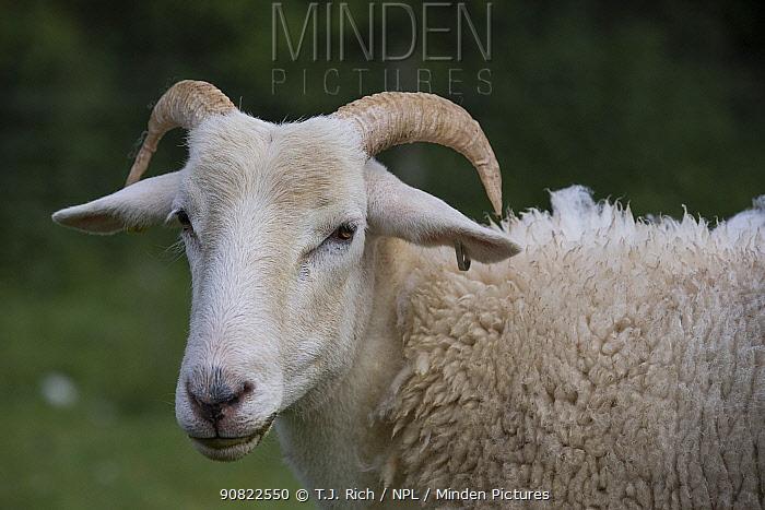Wilsthire horn sheep with self shedding fleece, portrait. Surrey, England, UK.