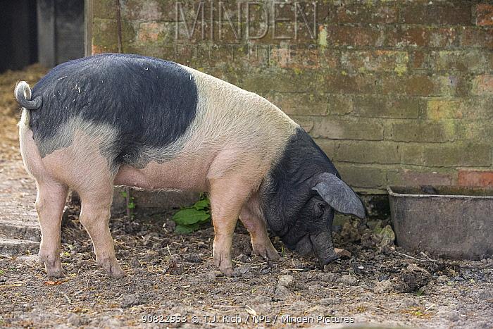 Berkshire pig gilt foraging in pig sty. Surrey, England, UK.