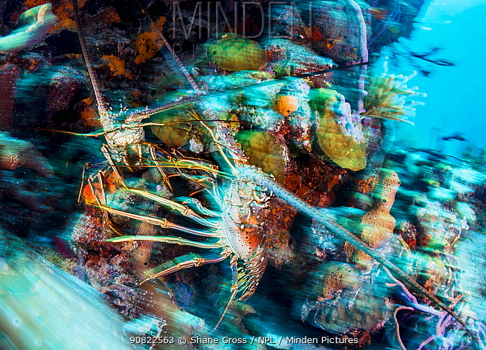Caribbean spiny lobster (Panulirus argus), two in territorial fight in coral reef. Exuma Cays Land and Sea Park, marine protected area, Bahamas.
