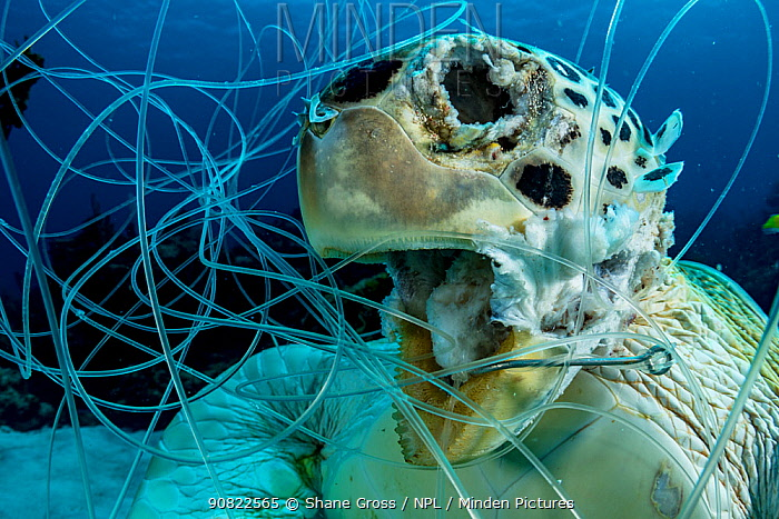 Green sea turtle (Chelonia mydas), drowned, hooked and tangled in fishing line as bycatch. Bahamas.