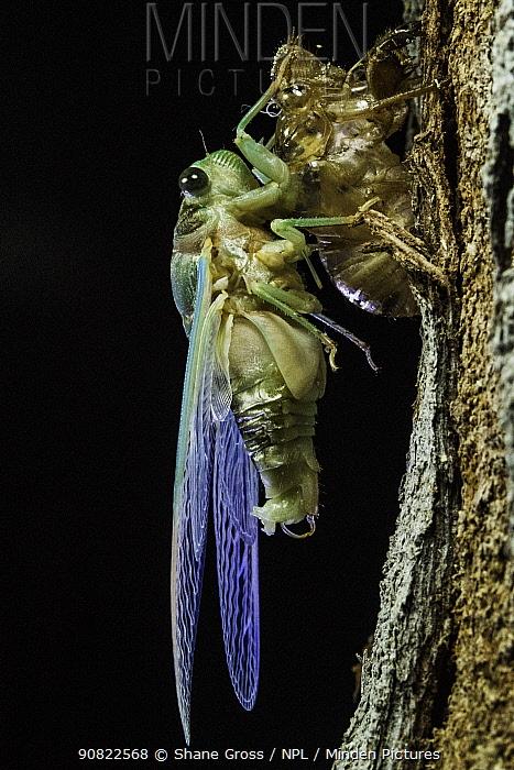 Superb green cicada (Neotibicen superbus) adult emerging from exuvia. Harbour Island, Bahamas.