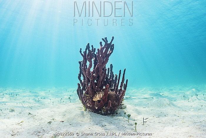 Nassau grouper (Epinephelus striatus) juvenile sheltering in Red sponge (Porifera sp) colony. Eleuthera, Bahamas.