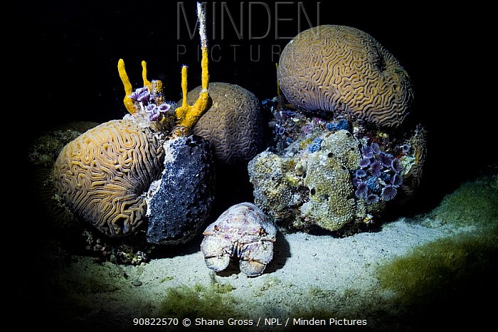 Spanish slipper lobster (Scyllarides aequinoctialis) emerging from coral reef at night. Bahamas.