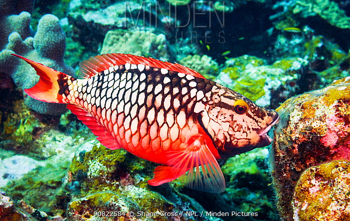 Stoplight parrotfish (Sparisoma viride) eating algae on coral reef. Eleuthera, Bahamas.