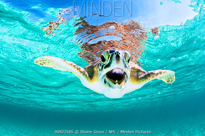 Green sea turtle (Chelonia mydas) with open mouth, swimming below surface. Eleuthera, Bahamas.