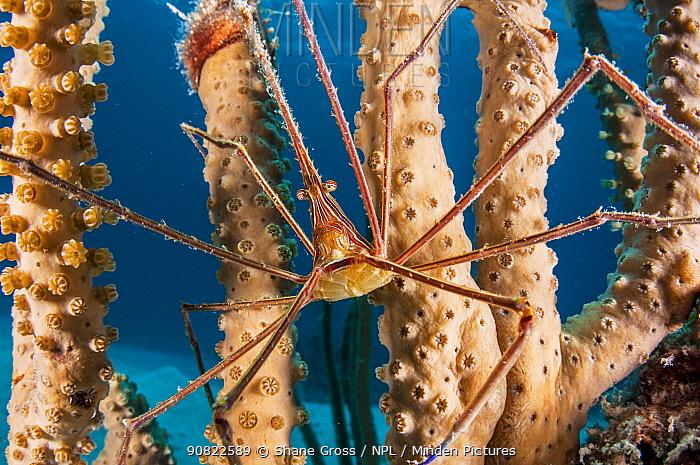 Arrow crab (Stenorhynchus seticornis) on coral. Eleuthera, Bahamas.