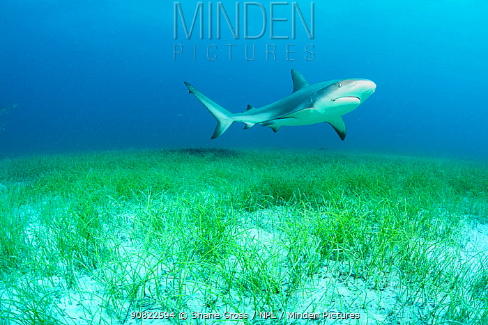 Caribbean reef shark (Carcharhinus perezi) swimming over Manatee grass (Syringodium filiforme). Nassau, Bahamas.