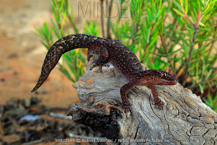 Marbled gecko (Christinus marmoratus) male on wood near Pinnaroo, Hattah-Kulkyne and Murray-Kulkyne Biosphere Reserve, South Australia. January.