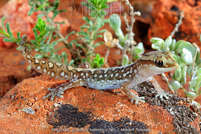 Ranges stone gecko (Diplodactylus furcosus) male on rock. Waukaringa, South Australia. August.