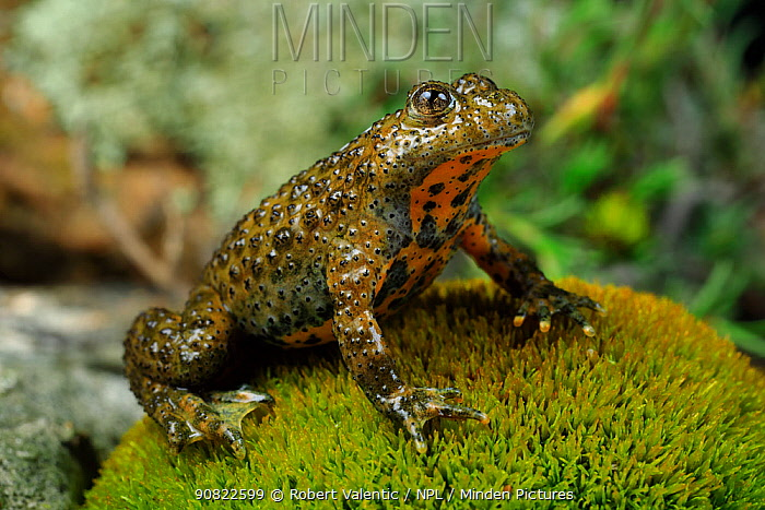 Yellow-bellied toad (Bombina variegata) sitting on moss. Passani, Dadia Forest, Evros, East Macedonia and Thrace, Greece.