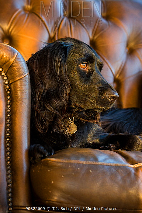 Black sprocker spaniel lying in Chesterfield armchair. Wirral, England, UK.