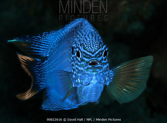 Blue damselfish (Pomacentrus pavo), portrait. Komodo, Indonesia.