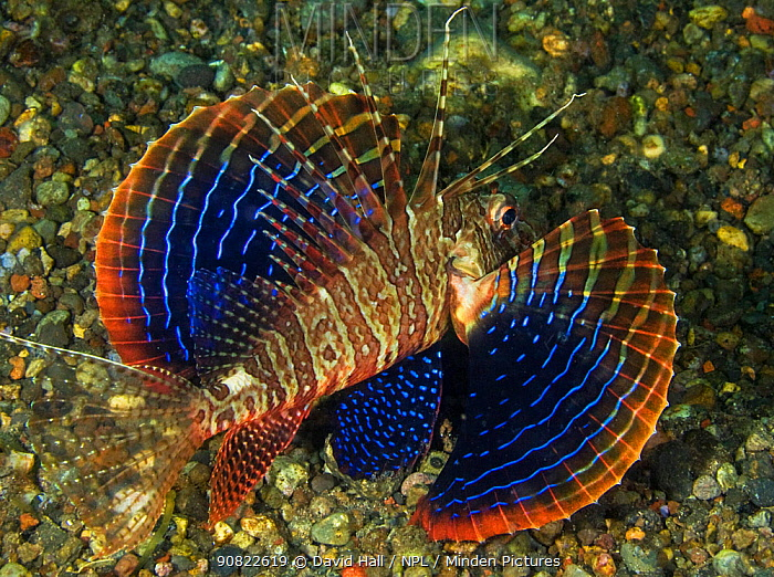 Blackfoot firefish (Parapterois heterura), blue striped pectoral fins displayed as a response to threat. Pantar Island, Alor Archipelago, Indonesia.