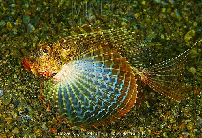 Blackfoot firefish (Parapterois heterurus), blue stripes on pectoral fin when threatened, on gravel. Pantar, Alor Archipelago, Indonesia.
