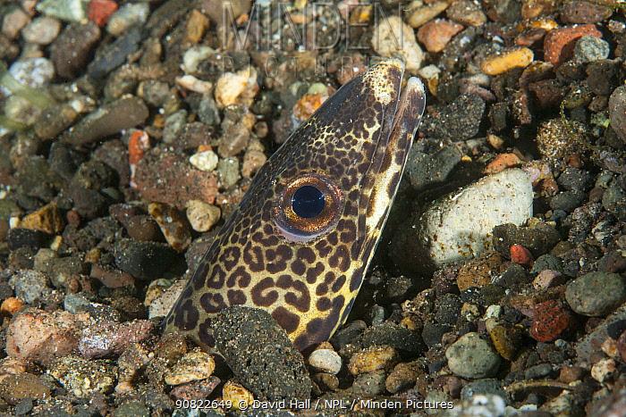 Barred conger eel (Ariosoma fasciatus) head poking through gravel. Pantar, Alor Archipelago, Indonesia.