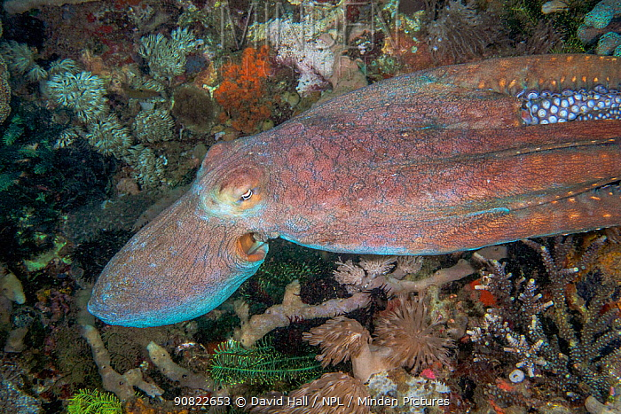 Day octopus (Octopus cyanea) jetting over coral reef. Komodo, Indonesia.