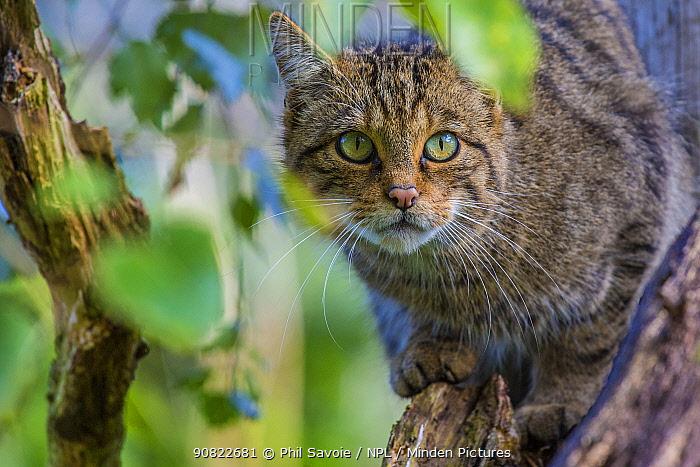 Scottish wildcat (Felis silvestris grampia) captive, endemic to Scotland. September