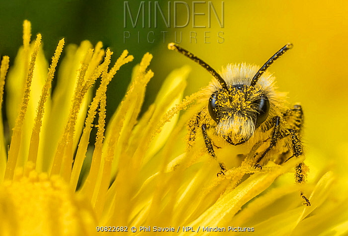 Ashy mining bee (Andrena cineraria), feeding on Dandelion (Taraxacum offinicale) Monmouthshire, Wales, UK. September