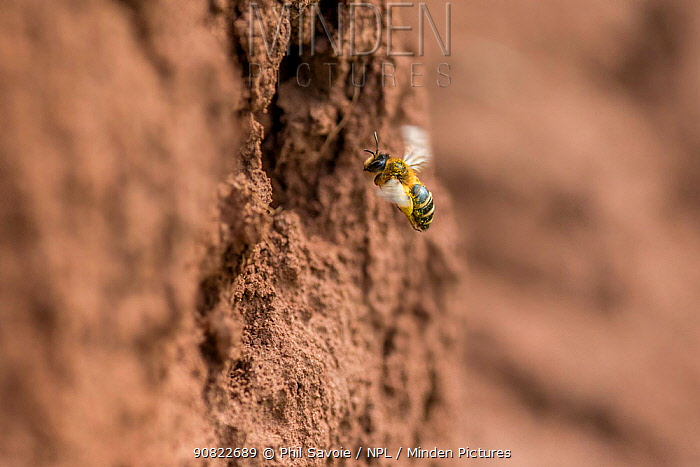 Yellow legged mining bee (Andrena flavipes) female at nest burrow, River Monnow, Monmouthshire, Wales, UK, April.