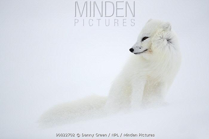 Arctic fox (Alopex lagopus) in winter pelage, camouflaged in snow. Svalbard, Norway, April.