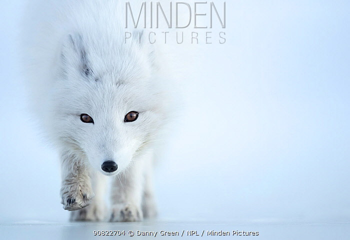 Arctic fox (Alopex lagopus) camouflaged in winter pelage. Svalbard, Norway, April.