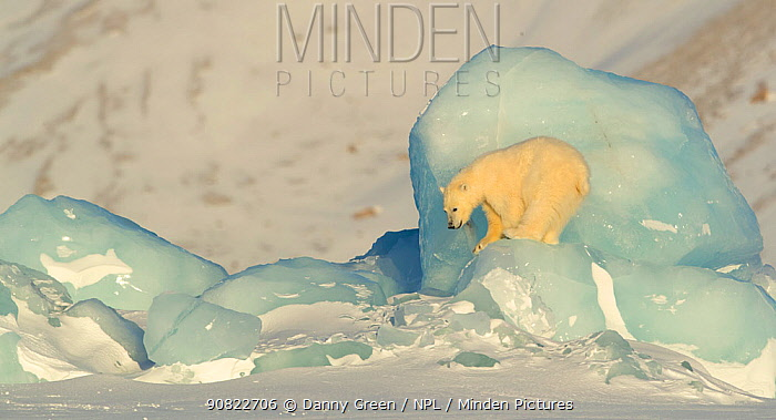 Polar bear (Ursus maritimus) cub ready to jump down from pack ice. Svalbard, Norway, April.