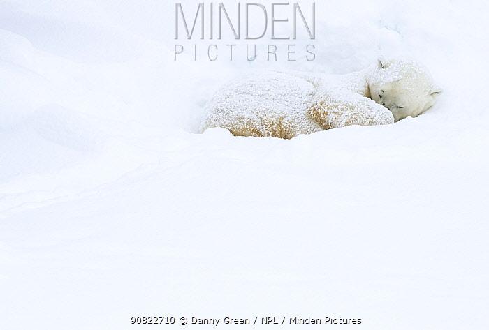 Polar bear (Ursus maritimus) sleeping in snow. Churchill, Manitoba, Canada, November.