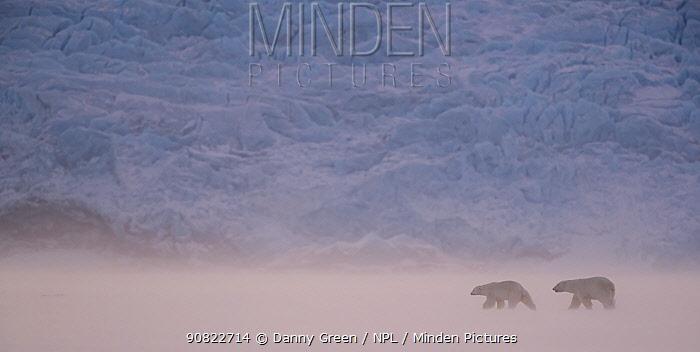 Polar bear (Ursus maritimus) two walking in snowy landscape. Svalbard, Norway, April 2018.