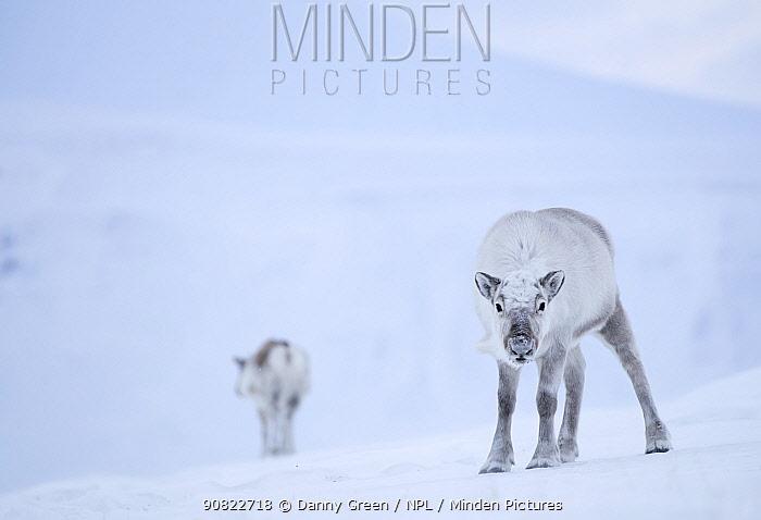 Reindeer (Rangifer tarandus) standing on ridge in snow, another reindeer in background. Svalbard, Norway, April.