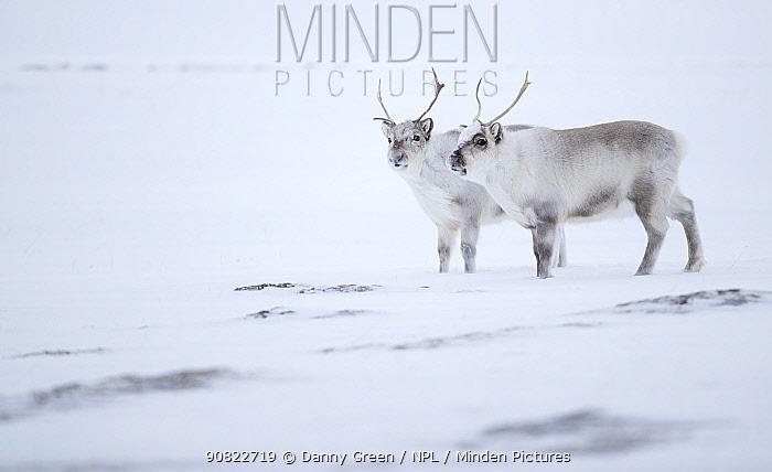 Reindeer (Rangifer tarandus), two standing on ridge in snow. Svalbard, Norway, April.
