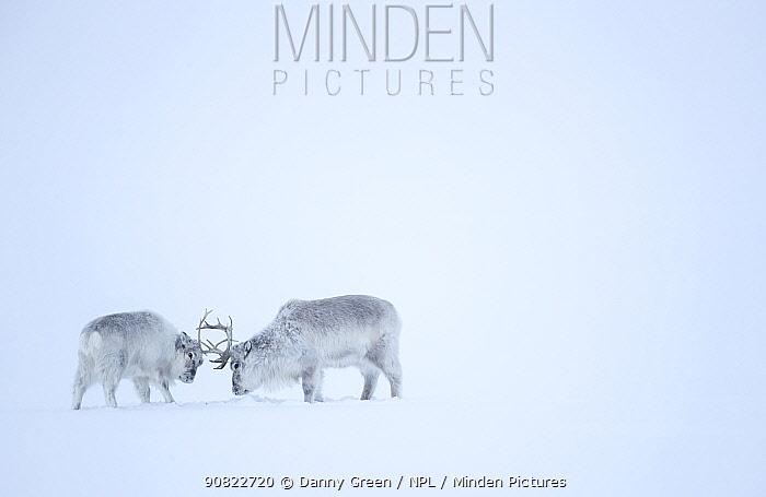 Reindeer (Rangifer tarandus), two play fighting in snow. Svalbard, Norway, April.