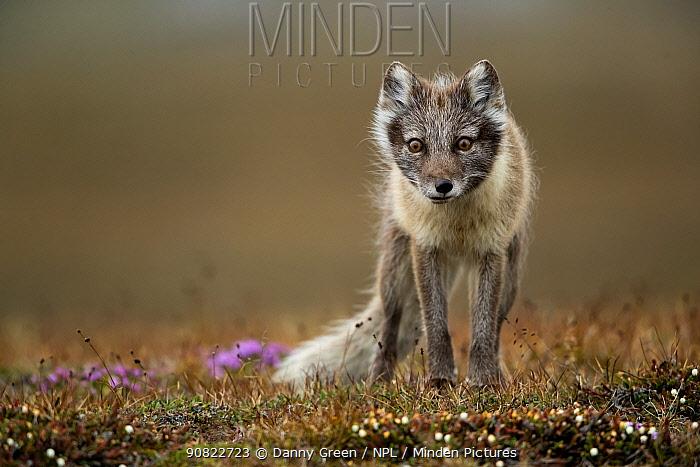 Arctic fox (Alopex lagopus) standing in tundra. Svalbard, Norway, July.