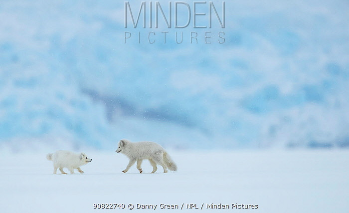 Arctic fox (Vulpes lagopus), two in snow covered landscape. Svalbard, Norway, April 2019.
