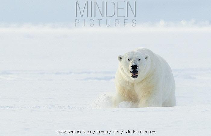 Polar bear (Ursus maritimus) male in snow. Svalbard, Norway, April.