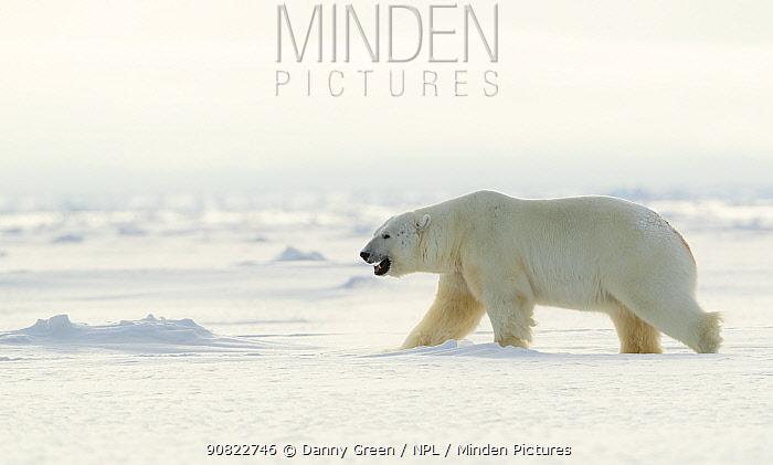 Polar bear (Ursus maritimus) male walking across frozen landscape. Svalbard, Norway, April 2019.