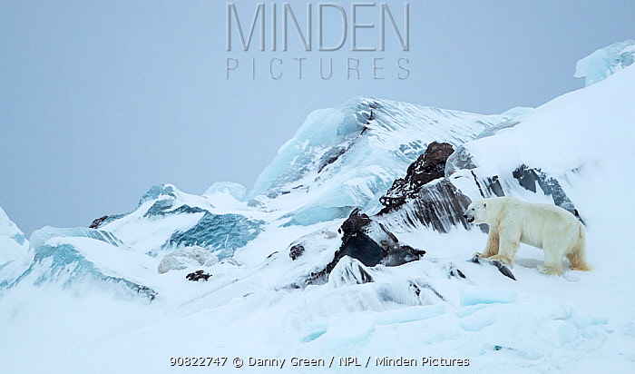 Polar bear (Ursus maritimus) male standing beside rocks in frozen and snow covered landscape. Svalbard, Norway, April 2019.