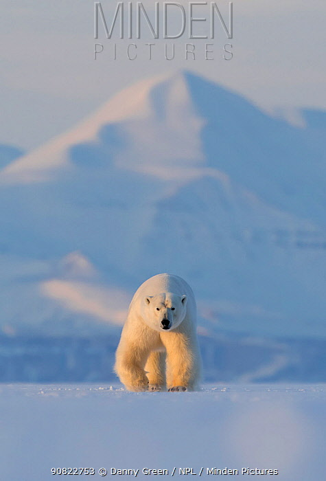 Polar bear (Ursus maritimus) walking across ice, snow covered mountain in background. Svalbard, Norway, April 2018.