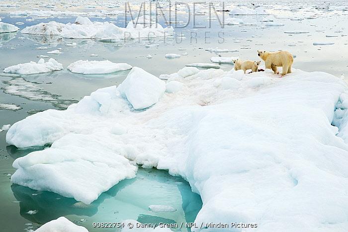 Polar bear (Ursus maritimus) and cubs feeding on Whale carcass, on iceberg. Svalbard, Norway, July 2018.