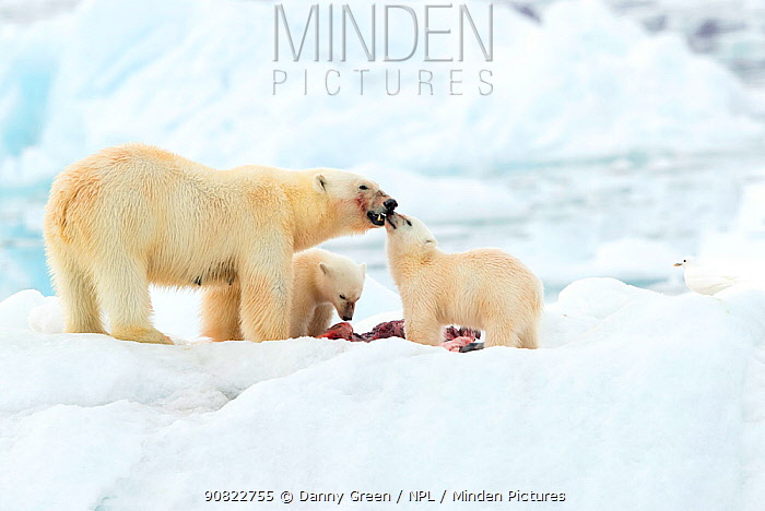 Polar bear (Ursus maritimus) and cubs feeding on Whale carcass. Svalbard, Norway, July.